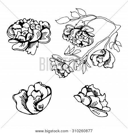 Monochrome Set Of Elements  Of Blossoming  Flowers Of Rose. Hand Drawn Ink   Sketch  Isolated On Whi