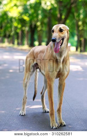 Dog Breed Greyhound