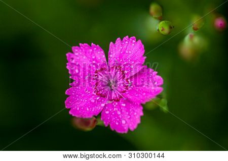 Dianthus Deltoides Bright Pink Little Flower With Green Foliage And Shallow Depth Of Field