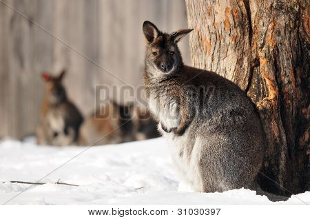 Wallaby in zoon during winter time in Canada