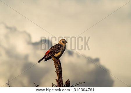 Small Bird On Branch In Samburu Park, Kenya. Image Of Small Bird On Branch In Samburu Park, Kenya