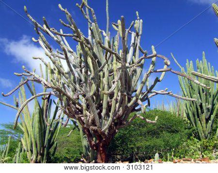 Twisted Organ Pipe Cactus