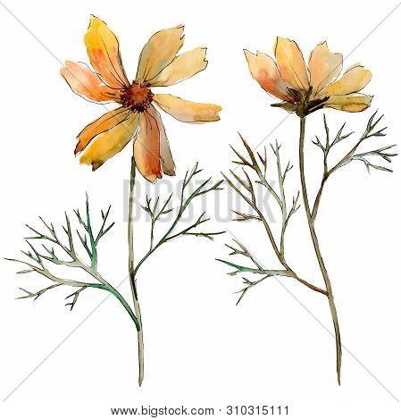 Cosmos Flower Floral Botanical Flowers. Watercolor Background Illustration Set. Isolated Flower Illu