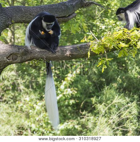 Young Mantled Guereza Monkey Also Named Colobus Guereza Eating Fruits Sitting On Tree Branch, Natura
