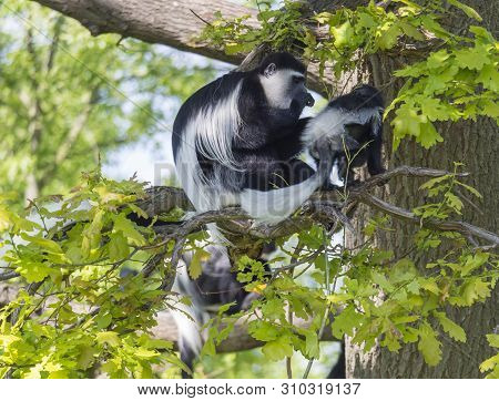 Mantled Guereza Monkey Also Named Colobus Guereza With Her Baby Little Monkey Sitting On Tree Branch