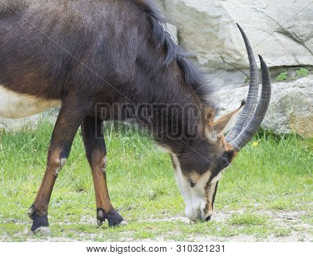 Close Up Portrait Of Male Sable Antelope Hippotragus Niger Grazing On Green Grass. Sable Antelope In