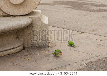Rose-ringed Parakeet Eating Fruits On The Plaza De Joan Fiveller, Barcelona, Spain.