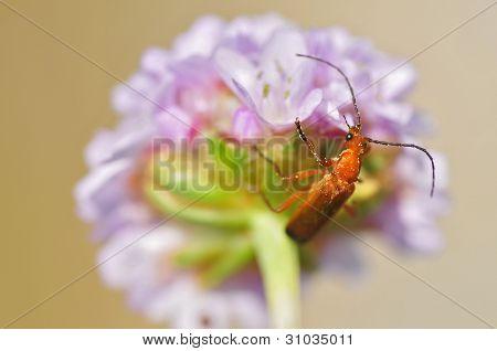 Macro red soldier on flower