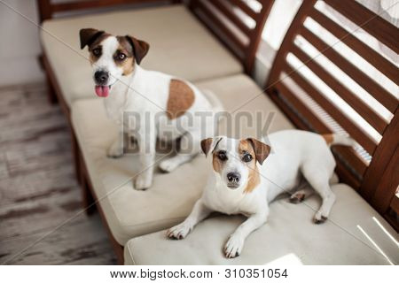 Two dogs relax on sofa. Happy dog at home