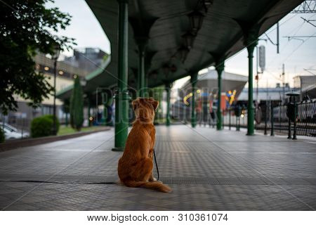 Nova Scotia Duck Tolling Retriever Toller. Dog Outside At The Train Station