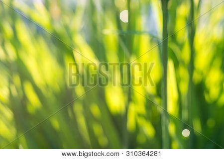 Fresh Juicy Young Grass In Nature In The Rays Of Sunlight With A Beautiful Sparkling Bokeh And Ladyb