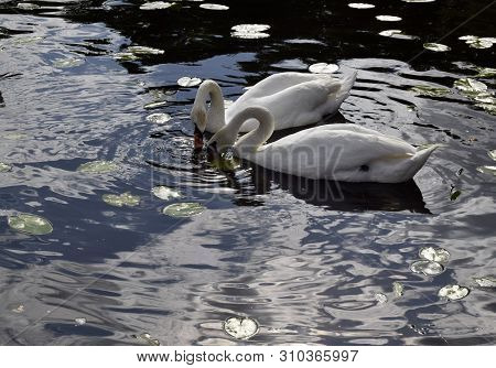 The White Swans Swims On Water. Swans Eat.  Natural Landscape Of Belarus And Russia. Wild Nature.