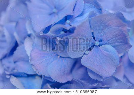 Hydrangeas Flowers In Blue-purple Style For Dreamy Feel Background.