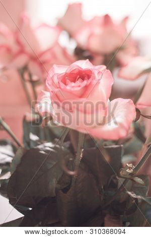 Rose In Soft Color And Blur Style For Valentines Day And Wedding Background. Soft And Dreamy Image.
