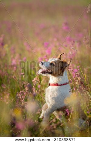 Smiling Jack Russell Terrier Dog In A Field Of Flowers. Happy Pet In The Sun, Portrait