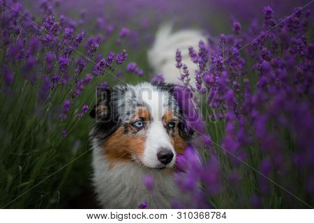 Dog Australian Shepherd In Lavender. Pet In The Summer On The Nature In Lilac Colors