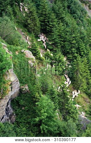 Herd Of Sheep On The Forested Slope Of Fagaras. Steep Hills With Rocks And Spruce Trees. Beautiful B