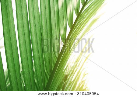 Green Leaves Of Palm Tree , Light Green Tropical Jungle Palm Foliage, Nypa Fruticans Leaves On White