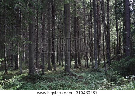 Pine Thicket. Forest Thicket, Pine Trees In The Forest. Saint Petersburg Region Russia, Toksovo. Dar