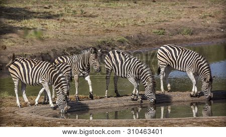 Four Plains Zebra Drinking In Waterhole In Kruger National Park, South Africa ; Specie Equus Quagga