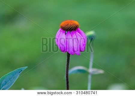 A Close Up Of A Completely Open Lavendar Coneflower