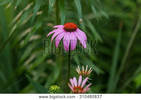 A Close Up Of Three Lavendar Coneflower In Different Stages Of Blooming