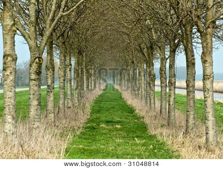 Double row of trees in winter