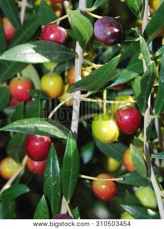Olives , Oil , Olive Tree , Oleic Acid , Healthy Fat