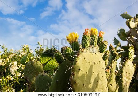 Yellow Prickly Pear Cacti Blossoms. Common Plants Of Sardinia.