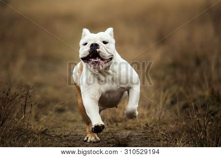 Front View At A Female English Bulldog Walking On Autumn Field