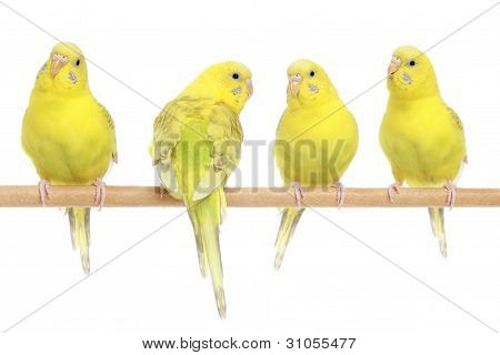 Four Yellow Budgie On Branch