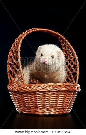 Ferret In Wattled Basket