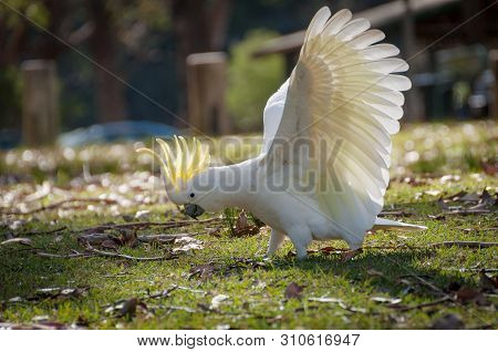 Australian Sulphur-crested Cockatoo Standing On The Ground With Its White Wings In Full Wingspan And