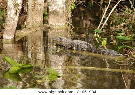 An Alligator in the Florida Everglades