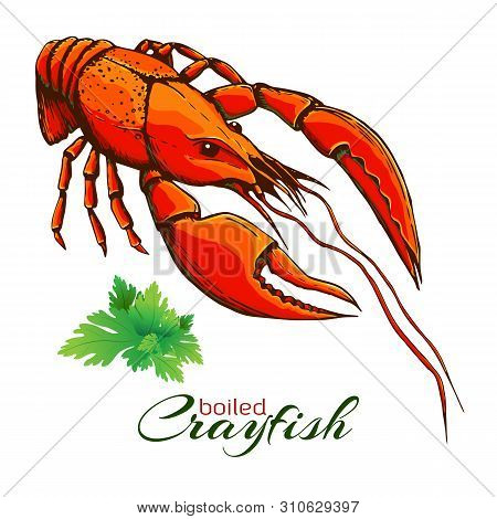 Red Boiled Crayfish. One Boiled Lobster With Bunch Of Parsley Isolated On White. Hand Drawn Vector V