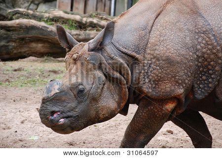 The Indian rhinoceros