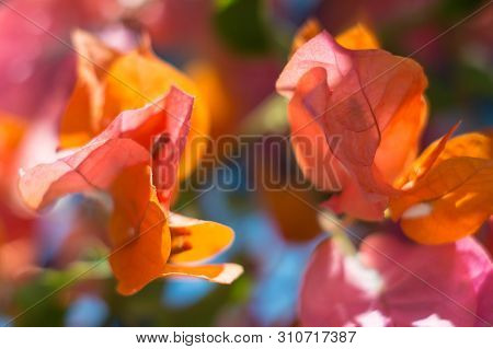 Bright Bougainvillea Flowers On A Blurred Background On A Sunny Summer Day. Artistic Background. Sof