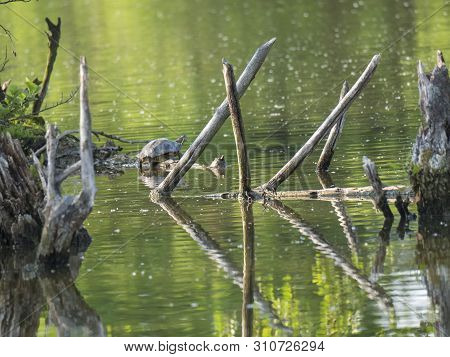 Red-eared Slider Turtle With Trachemys Scripta Elegans Stand On Tree Root On Green Pond Water With D