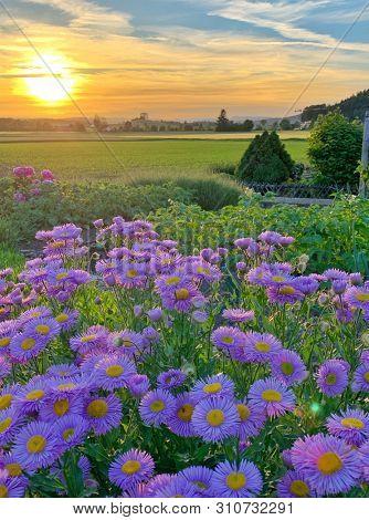 Violet aster flowers at sunset