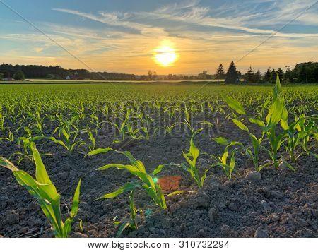 Corn plants field at sunset