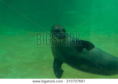 Valbrembo, Lombardia - 16.05.2019: Sea Lion Is Swimming On The Back In Le Cornell Animal Park. The C