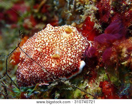 Closeup And Macro Shot Of The Nudibranch Chromodoris Reticulata During A Leisure Dive In Mabul Islan