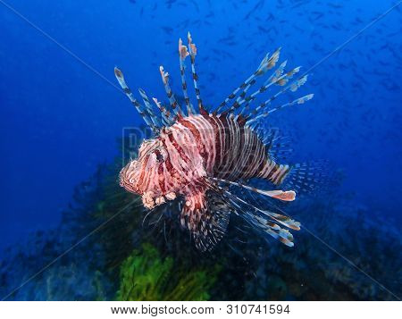 Closeup And Macro Shot Of The Red Lionfish Or Red Firefish During A Leisure Dive In Mabul Island, Se