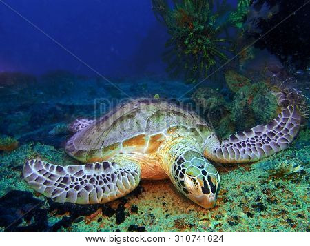 Closeup With A Hawksbill Turtle Sleeping On The Earth Floor Underwater During A Leisure Dive In Mabu