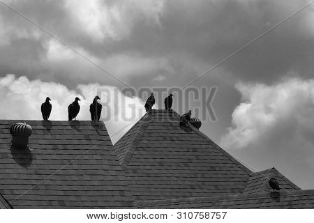 Black And White Photo Of A Small Flock Of Black Vultures, Or Buzzards, Standing On The Peak Of A Hou