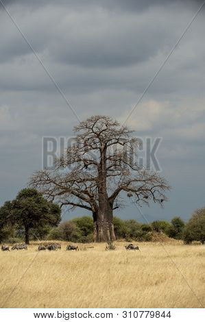 Portrait Format Of A Giant Baobab Tree, Or Adansonia Tree, Against Blue Sky With Lower Green Trees W