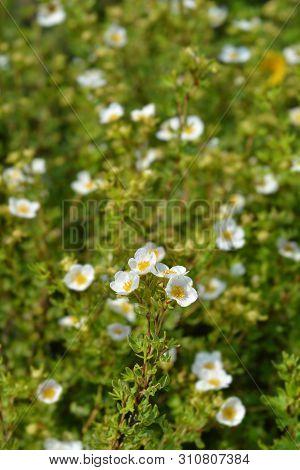White Shrubby Cinquefoil Flowers - Latin Name - Potentilla Fruticosa