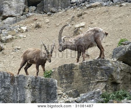 two Alpine Ibex at spring time in stony ambiance poster
