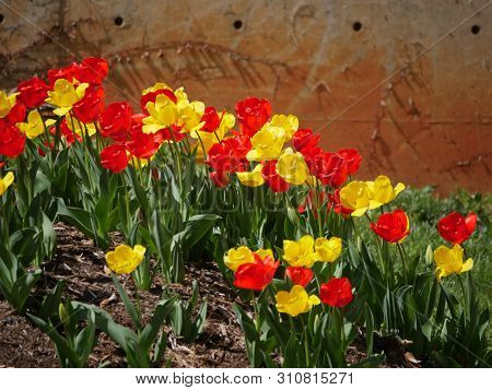 Colorful Profusion Of Red And Yellow Tulips In A Garden