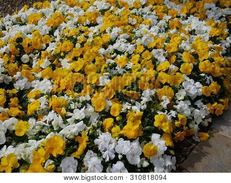 Profusion Of Yellow And White Flowers Along A Sidewalk